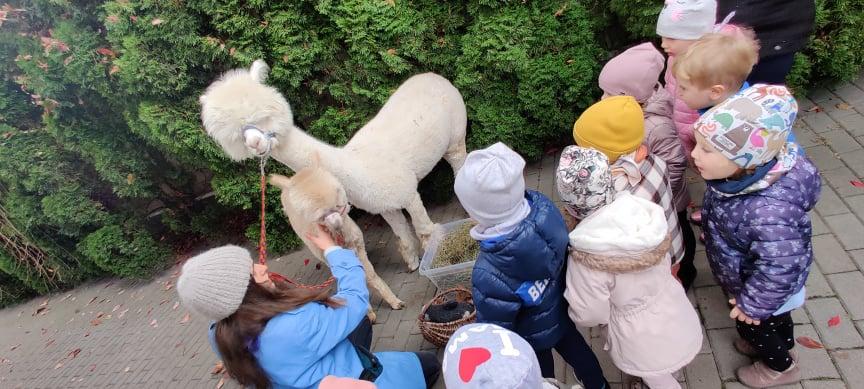 Spotkanie z alpakami